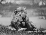 Date Unknownfrazier 19 Year Old Lion at Lion Country Safari South of Los Angeles Premium Photographic Print by Ralph Crane
