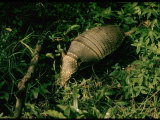 Armadillo on Ground in Amazonia Premium Photographic Print by Dmitri Kessel
