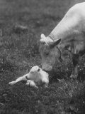 Charclais Mother Nuzzling Her Calf Premium Photographic Print by Nina Leen