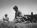 Migrant Farm Workers Picking Carrots Photographic Print