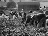 African American Migrants Hard at Work in the Field Premium Photographic Print