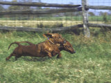 Dachshunds Running Low to the Ground During Gazehound Race Premium Photographic Print by John Dominis