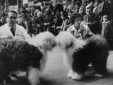 English Sheepdogs, During Cruft's Dog Show Premium Photographic Print