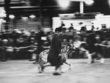 Great-Grandmother Pacing Her Irish Wolfhound, During Cruft's Dog Show Photographic Print