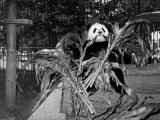 Winsome Panda Bear Eating Bamboo Leaves at the Brookfield Zoo Premium Photographic Print