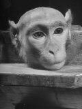 Laboratory Monkey Wearing a Plastic Scalp Premium Photographic Print