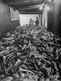 Men Packing a Ship with Freshly Caught Cod Fish Premium Photographic Print by Ralph Morse