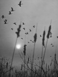 Canadian Geese Photographic Print by Andreas Feininger