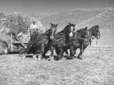 Rancher Dragging Mound of Hay to Feed His Beef Cattle at the Abbott Ranch Premium Photographic Print by Bernard Hoffman