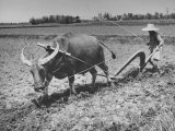 Farmer Plowing Field with Water Buffalo Premium Photographic Print by Carl Mydans