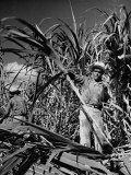 Farm Hands Working on a Sugar Cane Farm Premium Photographic Print by Hansel Mieth