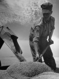 Farm Worker Shoveling Harvested Wheat Photographic Print by Ed Clark