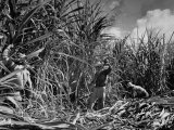 Farm Hands Working on a Sugar Cane Farm Reproduction photographique sur papier de qualité par Hansel Mieth