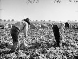 Mexican Farm Workers Harvesting Beets Premium Photographic Print by J. R. Eyerman