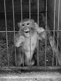 Monkey Biting the Bars on His Cage at the Brookfield Zoo Premium Photographic Print