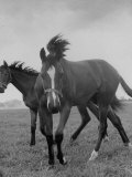 Yearlings Playing Together in the Paddock at Marcel Boussac's Stud Farm and Stables Premium Photographic Print by Lisa Larsen