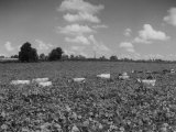 Herd of Cows Grazing in a Field of Fast Growing Kudzu Vines Premium Photographic Print by Margaret Bourke-White