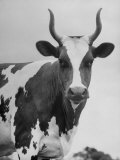 Cow Standing on Edward E. Wilson's Farm, Son of General Motors Pres. Charles Erwin Wilson Premium Photographic Print