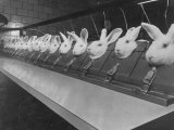 Research Lab at Eli Lilly Drug Manufacturing Plant Uses Rabbits to Test Distilled Water Premium Photographic Print