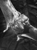 Vampire Bat Cleaning Itself Photographic Print by J. R. Eyerman