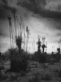 Yucca Plants in Desert Premium Photographic Print by Alfred Eisenstaedt