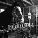 """Talking"" Horse Named Lady Wonder Who Uses a Giant ""Typewriter"" to Give Simple Answers Photographic Print"