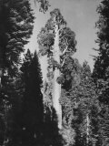 """Gen. Grant's"" Sequoia Tree in King's Canyon National Park Premium Photographic Print by J. R. Eyerman"