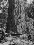 Excellent Set Showing Lumberjacks Working in the Forests, Sawing and Chopping Trees Photographic Print by J. R. Eyerman