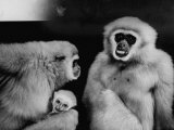 Gibbon Monkeys Living at the Bronx Zoo Premium Photographic Print by Nina Leen