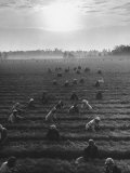 Cotton Pickers Working in the Fields Photographic Print