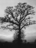 English Elm Growing in Sherwood Forest Premium Photographic Print