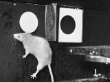 Rat Jumping Through the Left Window During the Experiment at Michigan University Premium Photographic Print by Bernard Hoffman