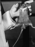 Rat in the Passive Stage, Hanging Limp from Dr. Maier's Hand Premium Photographic Print by Bernard Hoffman