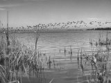 Large Flock of Canadian Geese Flying over Water Premium Photographic Print by Andreas Feininger