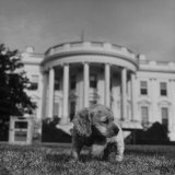 "President Truman's Dog, ""Feller"" on White House Lawn Photographic Print"