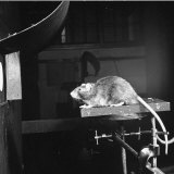 Dr. Norman Raymond Frederick Maier, Conducting an Experiment with a Rat at the Michigan University Photographic Print by Bernard Hoffman