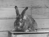 Rabbit Being Displayed at a Rabbit Show Premium Photographic Print