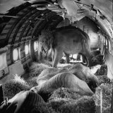 Elephants Being Transported by Airplane Photographic Print