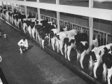 Interior View of Milking Barn, Where Milking Is Done with Automatic Machines Premium Photographic Print by Ed Clark