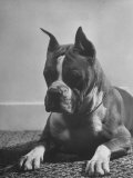 Boxer Bang Away, of Sirrah Crest, Posing for Photograph Premium Photographic Print