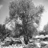 An Ancient Tree in the Garden of Gethsemane Just Outside Jerusalem Photographic Print by Dmitri Kessel