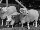 Breeding Short Legged Ancon Ram to Normal Ewe, Produces a Short Breed Lamb Which Cannot Jump Fences Reproduction photographique sur papier de qualit&#233;