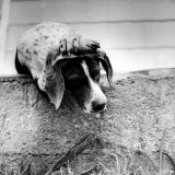 Spotted Dog Resting on the Wall with His Paws Crossed over His Head in a Thoughtful Pose Photographic Print