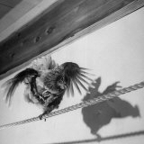 Plump Rooster Using His Wings to Balance Himself While Walking on a Tight Rope Photographic Print