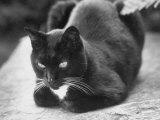 Black and White Pet Cat Premium Photographic Print