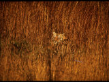 Tiger, Camouflaged Amidst Tall, Golden Grass, Setting Out at Dusk for Night of Hunting Photographic Print by Stan Wayman