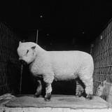 A Wooly Sheep Waiting to Be Shown Off at the Livestock Expo Premium Photographic Print by George Skadding