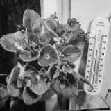 African Violets Premium Photographic Print by Eric Schaal
