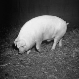 The Prize Winning Pig Sniffing the Hay Covered Ground Premium Photographic Print by George Skadding