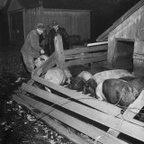 Efficiency Expert Ralph Hitz Observing Farmer Alva Wood Feeding the Hogs Premium Photographic Print by Wallace Kirkland